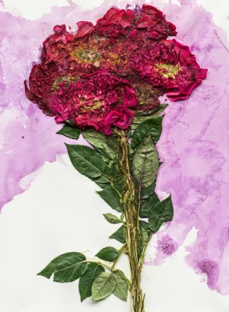 Image of crushed red flowers and green leaves, with purple dye from the flowers staining a white background