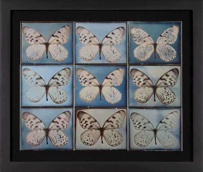 Framed daguerreotypes in a grid of nine panels, each containing a single butterfly