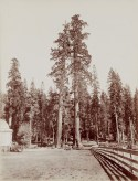 19th century photograph of two tall trees in front of a smaller forest of trees in the background