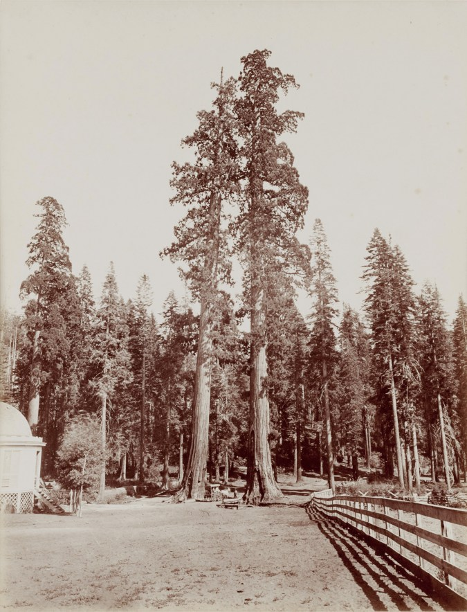 Ninteteenth century photograph of two tall trees in front of a smaller forest of trees in the background