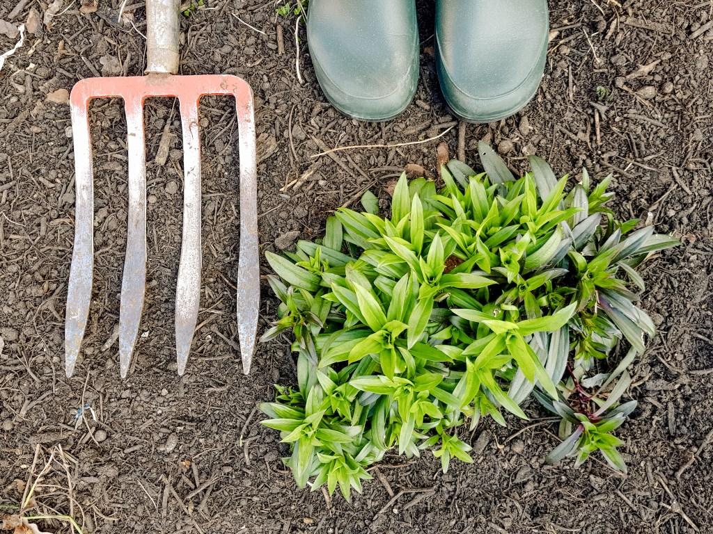 Astern im Garten im März teilen