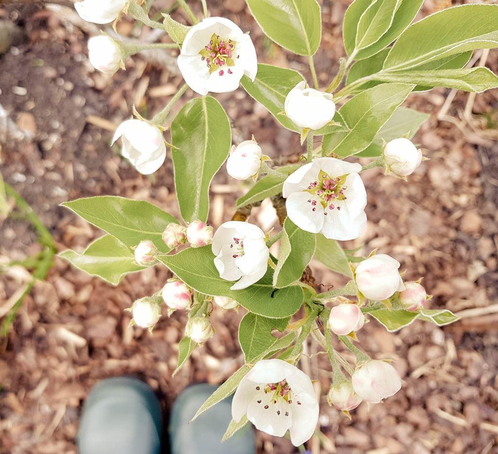 Blüte Birne