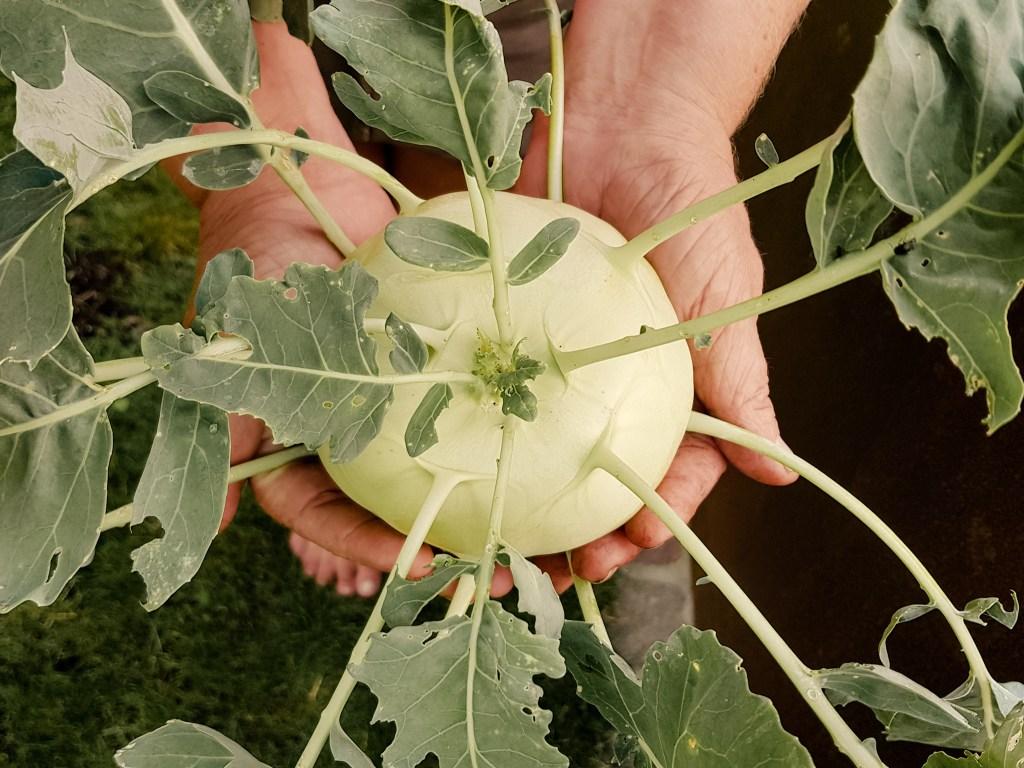 Kohlrabi - Gemüse für Einsteiger