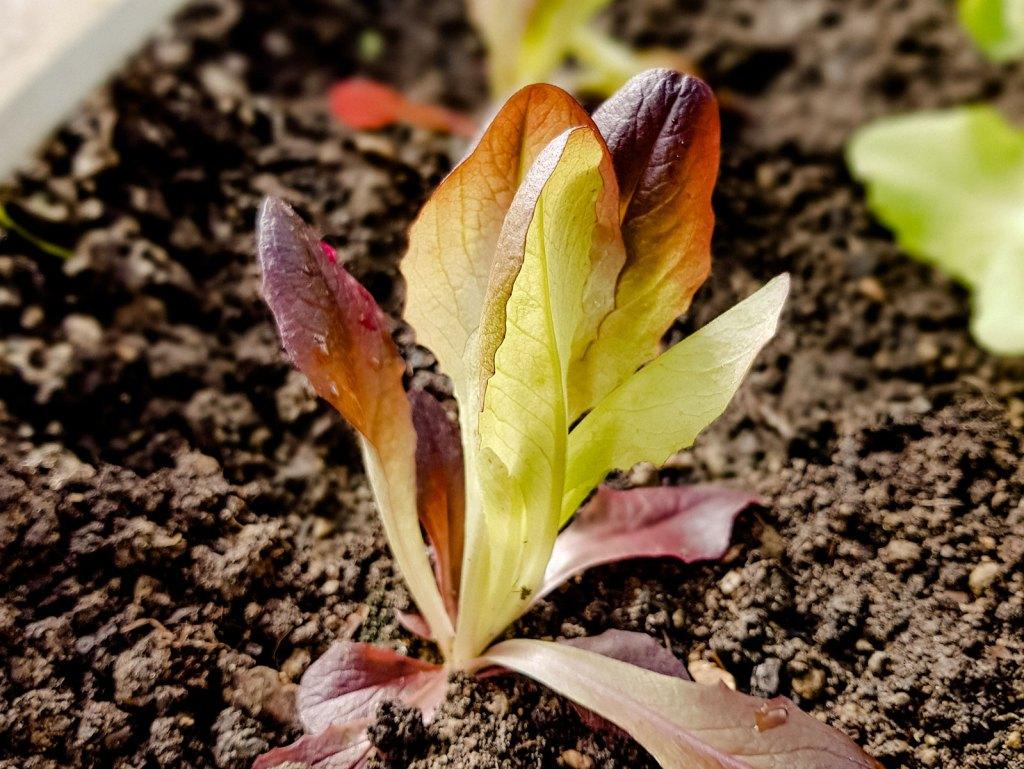 Salat im März setzen