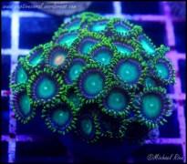 zoanthids_dsc8778