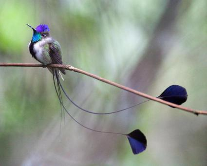 Marvelous Spatuletail Hummingbird