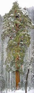 The President, 3rd Largest Giant Sequoia, California