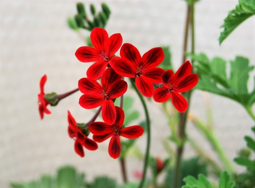 South African Beauty Connection - Pelargoniums