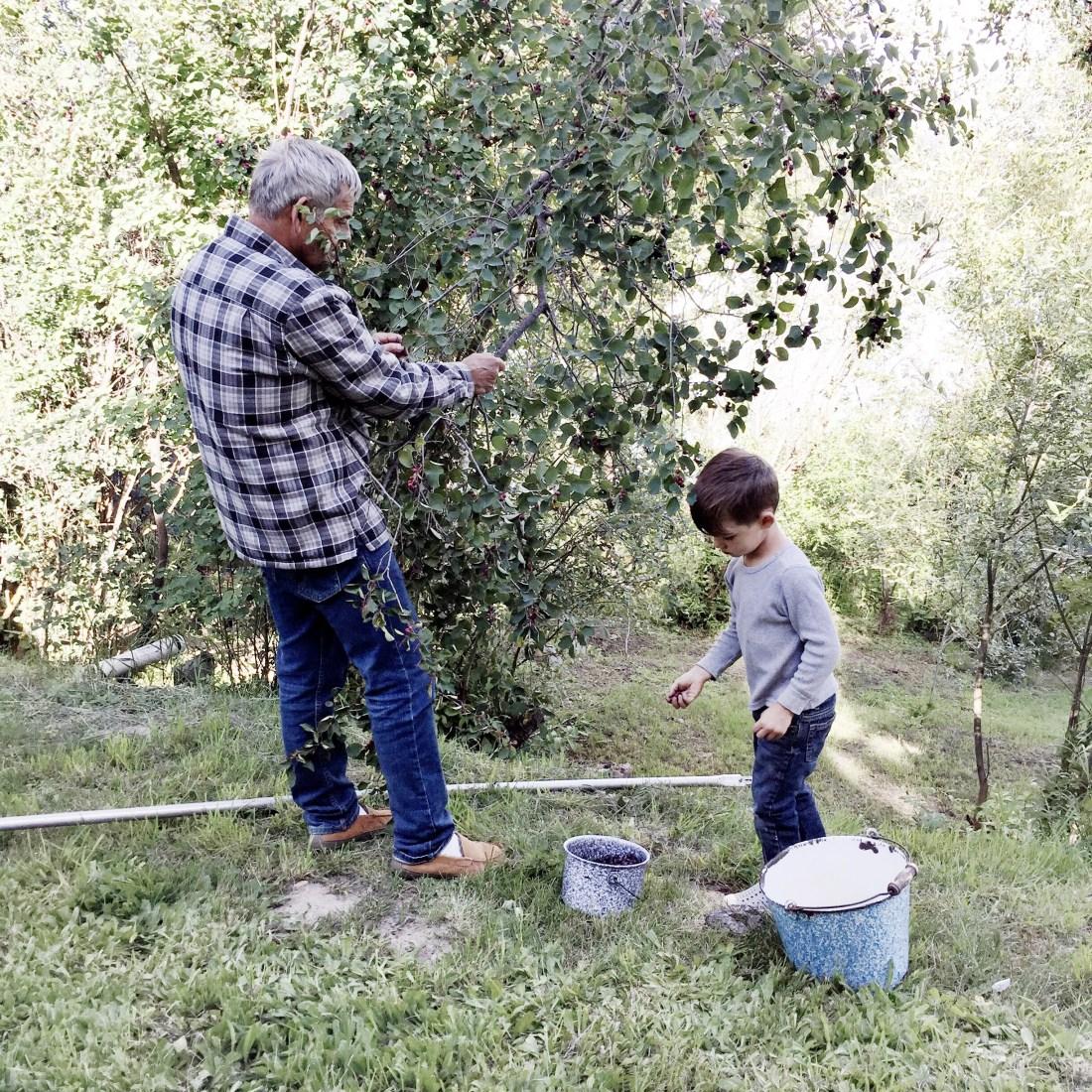 Picking Saskatoon berries