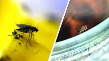 How to get rid of Fruit Flies and Gnats at Home - DON'T use the same traps