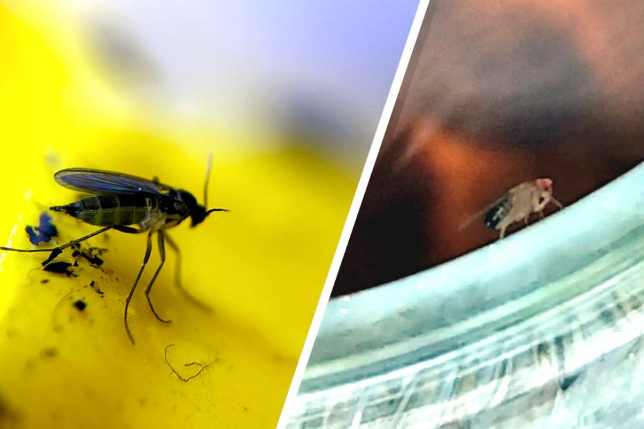 Blog_How to get rid of Fruit Flies and Gnats at Home - DON'T use the same traps