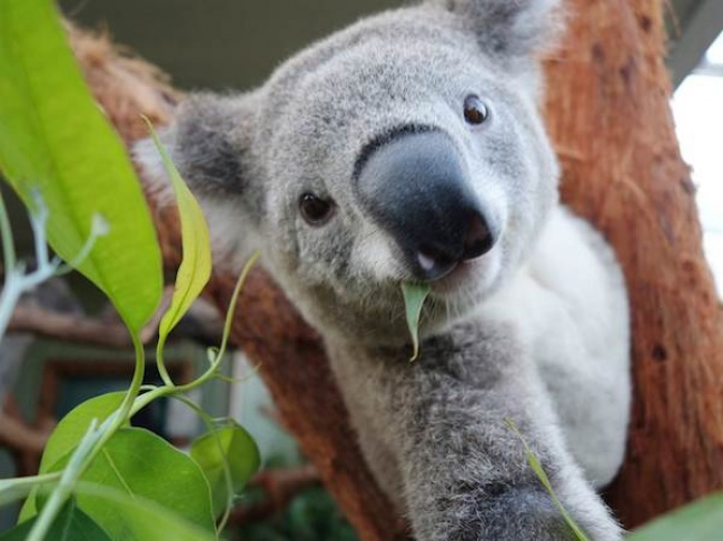 17585915-a99602_2d274905541814-tdy-koala-selfie-140404-05today-inline-large2x-1474969475-650-60aab8a9dc-1475038257