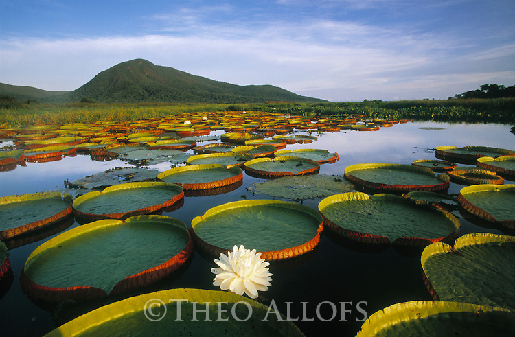 Feb 2004, Pantanal Matogrossense National Park, Brazil --- Victoria Regia Water Lily and Lily Pads --- Image by © Theo Allofs/Corbis