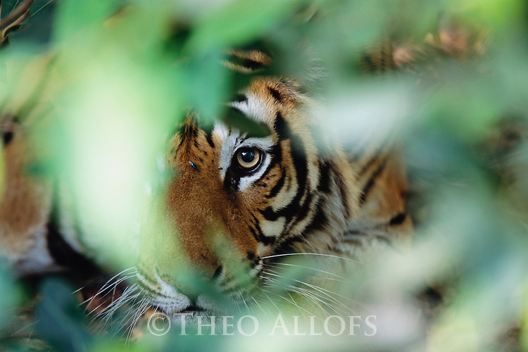 Bandhavgarh National Park, India --- Tiger in Hiding --- Image by © Theo Allofs/CORBIS