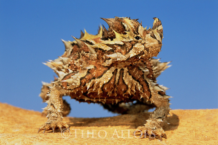 Australia, Western Australia, thorny devil on sand dune, blue sky in back, close-up
