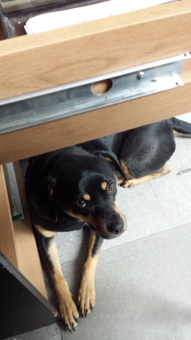 Bella, hiding under my desk.