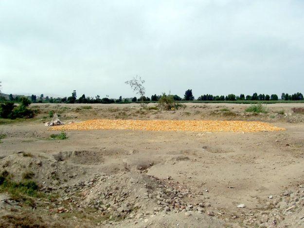 Corn drying in dirt field alongside the Pan Amerian Highway in Peru, South America