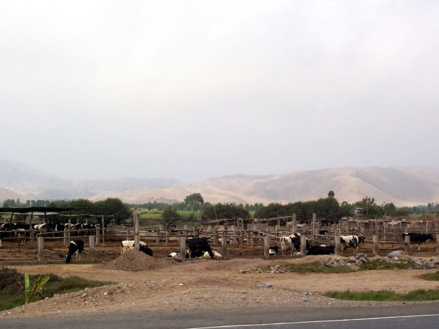 milk cows alongside pan american highway, peru