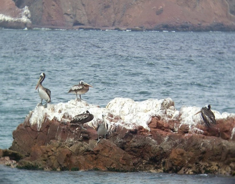 Pelicans on rocks in Playa Lagunillas in Paracas National Reserve, Ica, Peru.