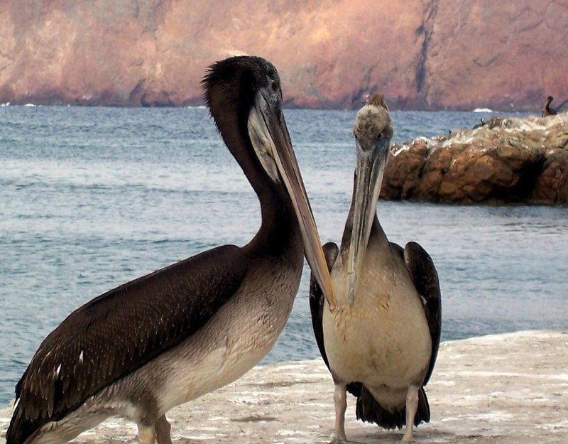 two Pelican's on Lagunillas dock - national reserve of paracas - peru