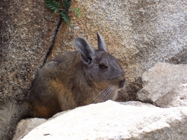 An image of a Chinchilla among the rocks at Machu Picchu in Urubamba Province, Peru.