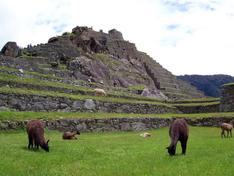 An image of llamas roaming freely at Machu Picchu in Urubamba Province, Peru.