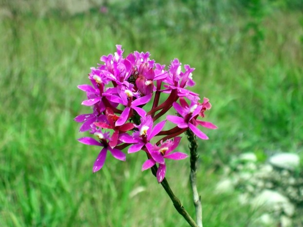 Wiñay Wayna Orchid growing along the Inca trail in Peru, South America