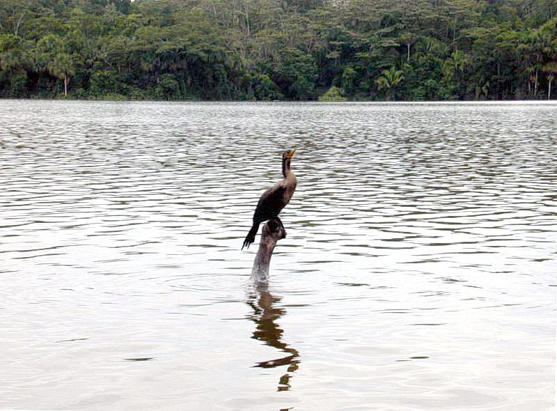 Anhinga on lake sandoval - peru
