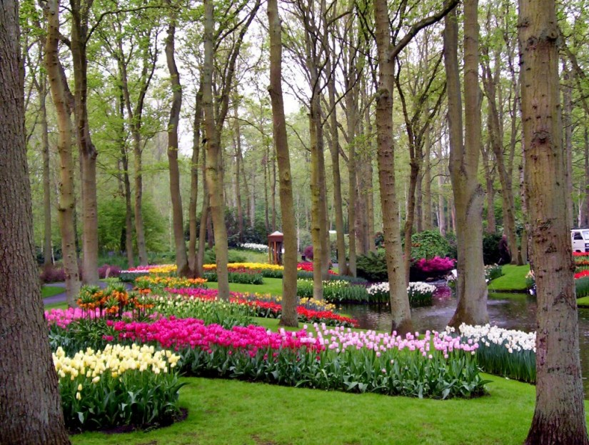 An image of tulips growing in a forest at Keukenhof Gardens near Lisse, in the Netherlands. Photography by Frame To Frame - Bob and Jean.