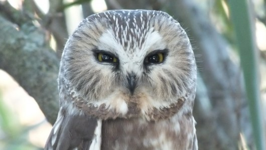Northern Saw-Whet Owl in Toronto tree