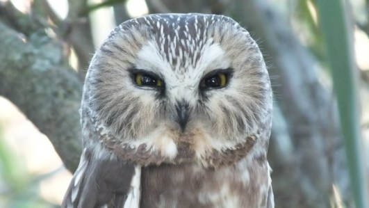 Northern Saw-Whet Owl sitting in a tree in Toronto, Ontario, Canada