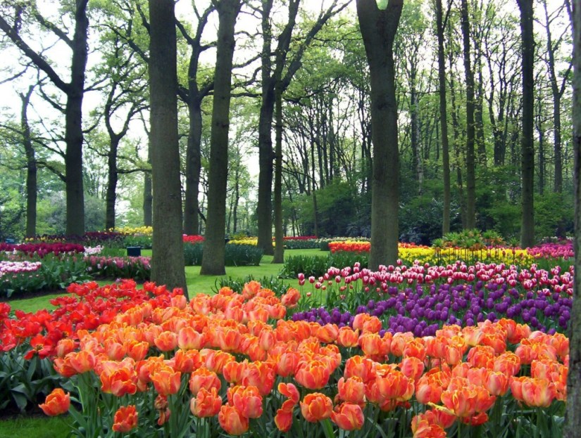 An image of tulip beds under trees at Keukenhof Gardens near Lisse in the Netherlands. Photography by Frame To Frame - Bob and Jean.
