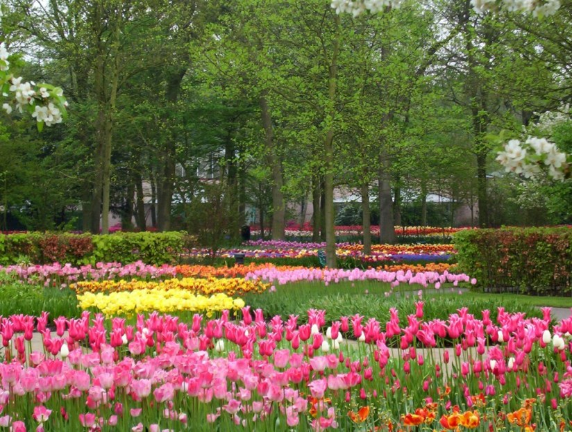 An image of pink and yellow tulips growing in a flower gardens at Keukenhof Gardens near Lisse, in the Netherlands. Photography by Frame To Frame - Bob and Jean.