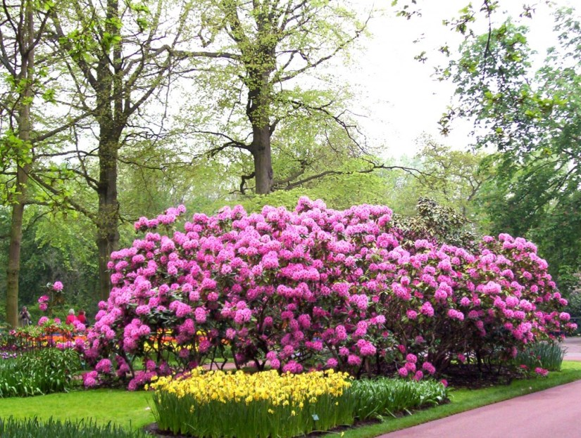 An image of Rhododendrons growing in a garden at Keukenhof Gardens near Lisse, in the Netherlands. Photography by Frame To Frame - Bob and Jean.