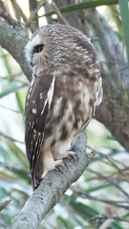Northern Saw-Whet Owl sitting on a tree in Milliken Park in Toronto