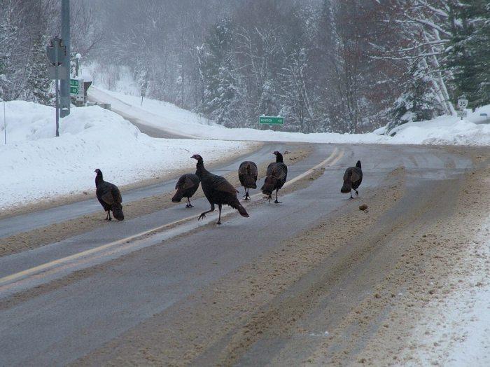 Wild Turkeys getting off Hwy 35 near Dorset, Ontario