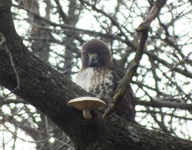 Redtail-Hawk-gives-us-a-close-eye-Milne-Park-Markham-Ontario