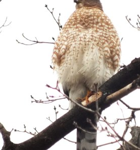 Cooper's Hawk sits tall, Goldhawk Park, Toronto, Ontario