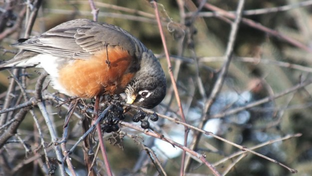 American Robin eats berries on a tree at Thickson's Woods in Whitby, Ontario, Canada