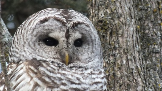 Barred Owl closeup of face 2- Thickson's Woods - Whitby - Ontario