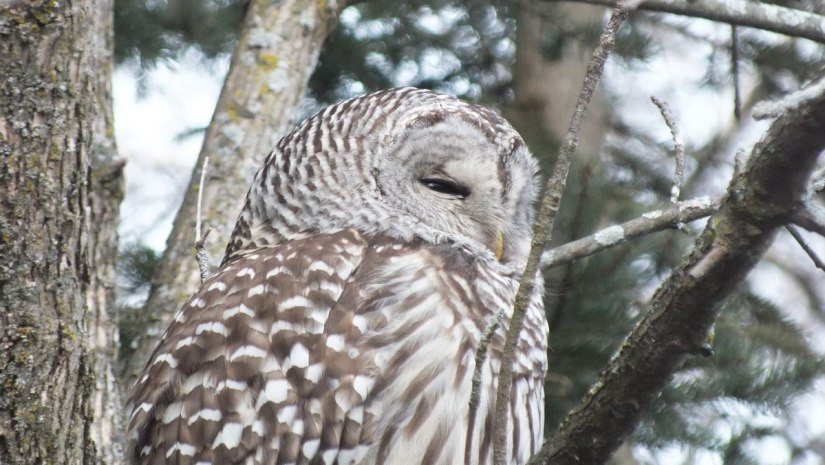 Barred Owl closeup of side of head- Thickson's Woods - Whitby - Ontario