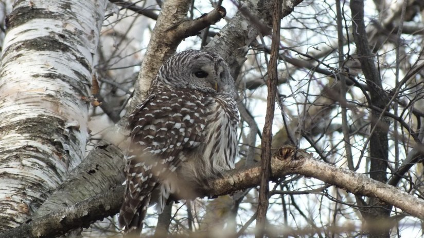 Barred Owl puffed up against the cold - Thickson's Woods - Whitby - Ontario