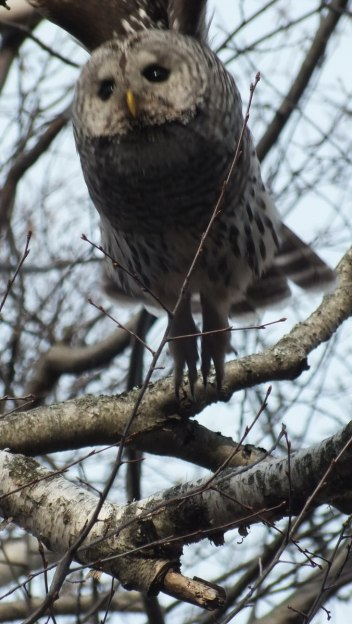 Barred Owl takes flight - Thickson's Woods - Whitby - Ontario