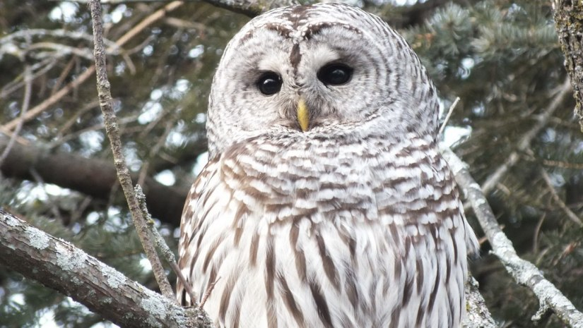 Barred Owl with yellow beak- Thickson's Woods - Whitby - Ontario