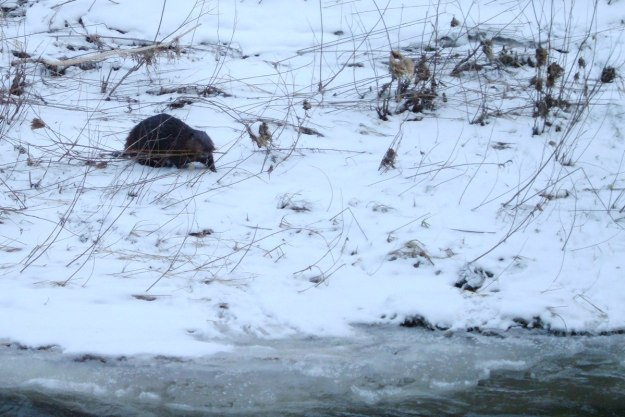 Beaver heads towards Green River - Pickering - Ontario