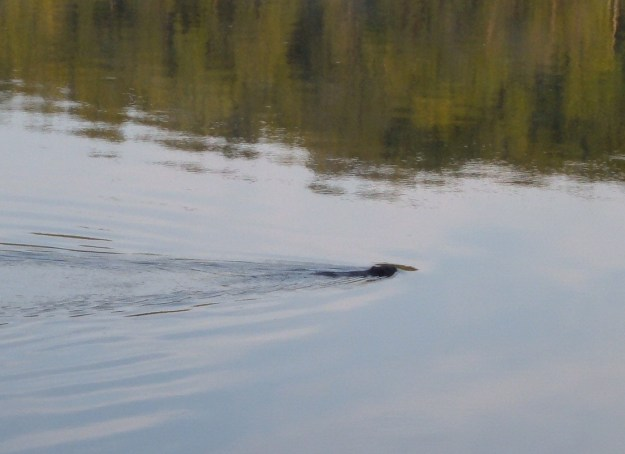 Beaver swims by us in Frontenac Provincial Park