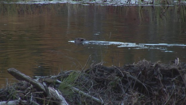 Beaver swims from dam, Algonquin Park, Ontario