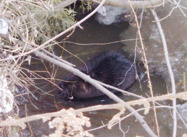 Beaver takes time out for lunch on the Green River