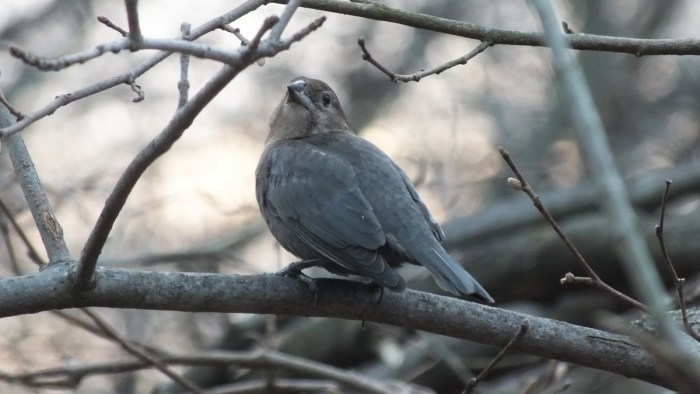 Brown-headed Cowbird, female, Lynde Shores Conservation Area, Whitby, Ontario