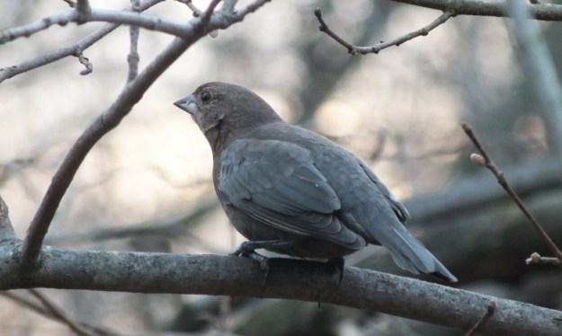 Brown-headed Cowbird, female 3 - Lynde Shores Conservation Area, Whitby, Ontario